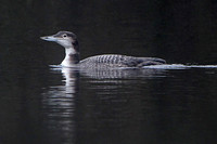 Great northern diver - Gavia immer