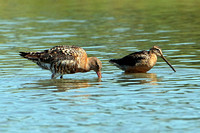 Long billed dowitcher - Limnodromus scolopaceus
