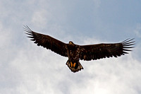 White tailed eagle - Haliaeetus albicilla