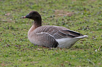 Pink footed goose - Anser brachyrhynchus