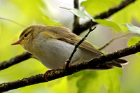 Wood warbler - Philloscopus sibilatrix