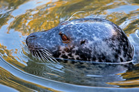 Common seal - Phoca vitulina