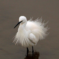 Mar 17 - Little egret
