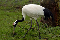 Red crowned crane - Grus japonensis