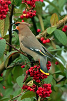 Jan 17 - Waxwing