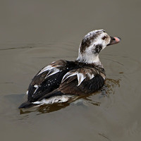 Long tailed duck - Clangula hyemalis