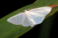 Common white wave - Cabera pursaria