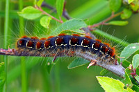 Small eggar caterpillar - Eriogaster lanestris