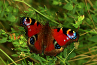 Peacock butterfly - Inachis io