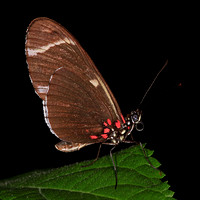 Sara longwing butterfly - Heliconius sara
