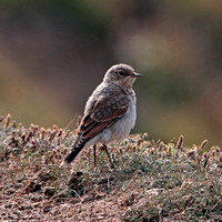 Northern wheatear - Oenanthe oenanthe