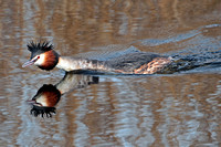 Great crested grebe - Podiceps crystatus