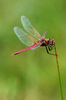 Red veined darter - Sympetrum fonscolombii