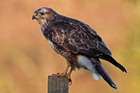 Nov 13 - Common buzzard