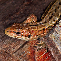 Common lizard - Lacerta vivpara