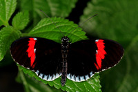 Common postman butterfly - Heliconius melponene